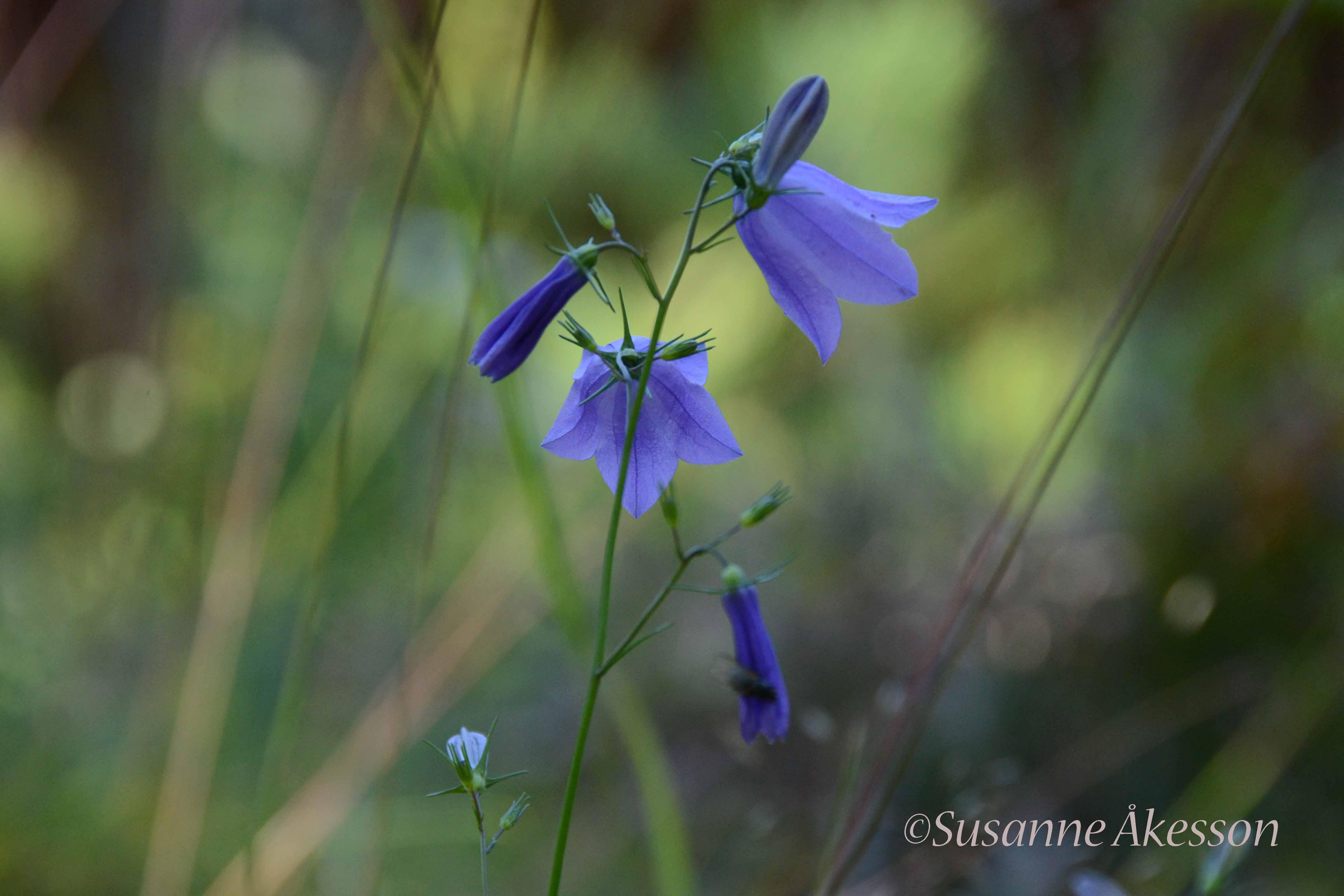 Liten blåklocka är vanlig på de ogödslade naturbetesmarkerna i Roslagen.