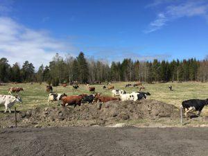 Korna i Ånö undersöker hagen första dagen på vårbete. Foto: Leif Alpsjö.